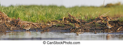 Flock snipe on the banks of the swamp - Flock snipe on the...