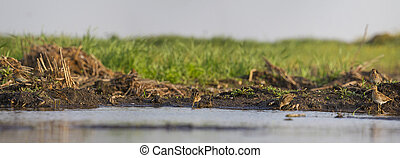 Hunting picture of snipe, panorama, landscape, birds hunting