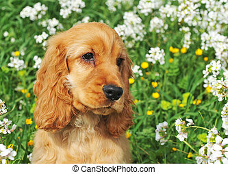 puppy cocker spaniel - portrait of a puppy cocker spaniel in...