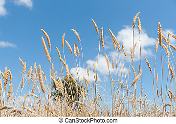 long grass seed head under blue sky - Boggy Pond Walk Lake...