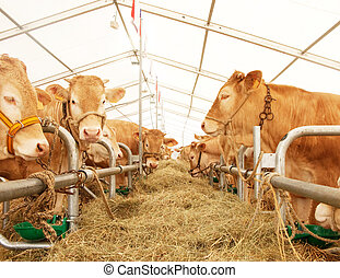 French cows lined up during a fair contest