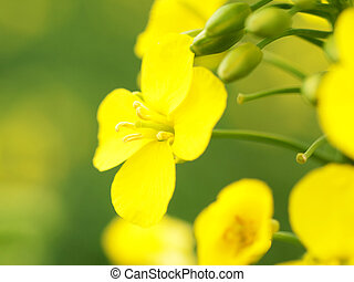 Colza macro - Macro of a flower of Canola at spring