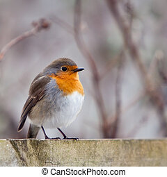 A red robin bird sitting on a fence in the garden