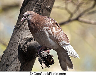 Wild pigeon on a tree branch