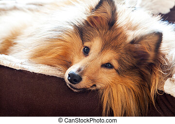 shetland sheepdog lies in dog basket and looks to the camera...
