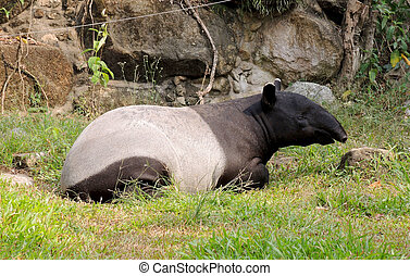 Tapir - Malayan Tapir, also called Asian Tapir (Tapirus...