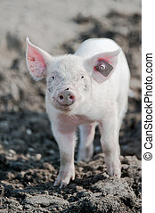Happy pig - young happy baby pig with ear tag on a farm...