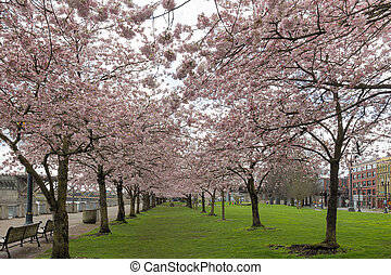 Cherry Blossom Trees at Portland Waterfront