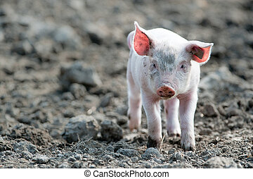 Cute baby pig - young happy baby pig with ear tag walking...