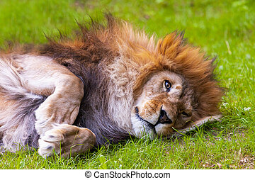 lion lies on grass and looks sweet in the camera