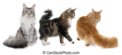 maine coon cats in front of white background