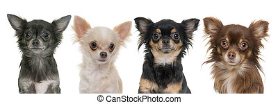 young longhair chihuahuas in front of white background