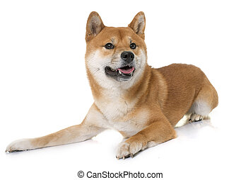 young shiba inu in front of white background