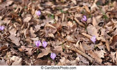 snowdrop flowers lilac color in the forest