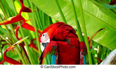 Parrot Ara. - Red parrot macaw has woke up, begins to talk,...