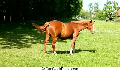 A brown horse walking on grass