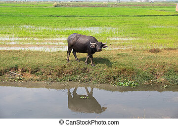 water Buffalo - Agricultural water Buffalo in a rice field