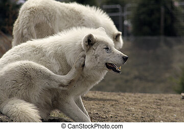 arctic wolf sitting in the zoo