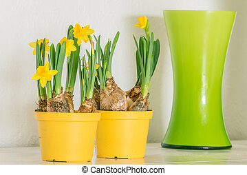Daffodils in yellow flowerpots