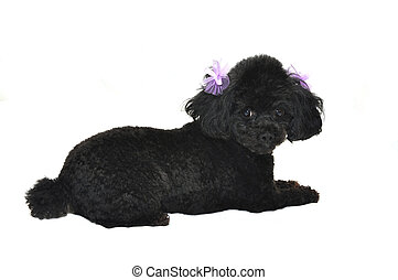 Black Toy Poodle Isolated - Black toy poodle with purple...