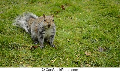 eastern gray squirrel - eastern gray or grey squirrel eating...