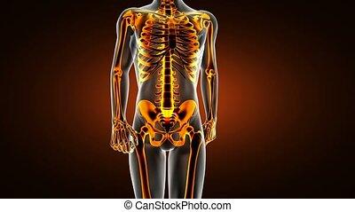 loop human bones radiographic scan. medical footage