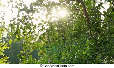 Bright afternoon in the forest, sunlights with lens flare in...