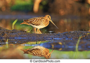 Snipe bird hunting - Snipe hunting bird stands in profile,...