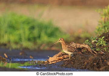 Snipe summer in beautiful world - Snipe summer in a...