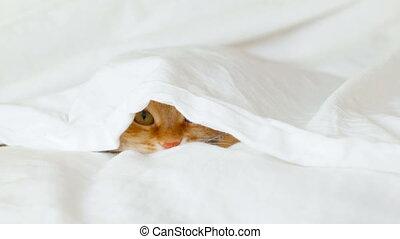 Ginger cat hides in bed under a blanket