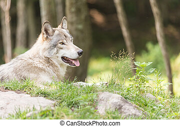 A lone timber wolf in a forest