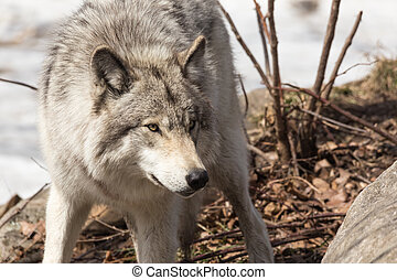 A lone Timber wolf in a winter scene in a forest
