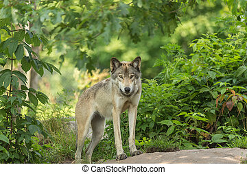 A lone Timber Wolf in the summer in the woods