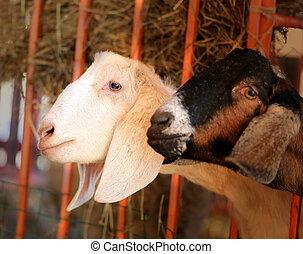 Photos portrait of a goat - Photos illuminated by the sun on...