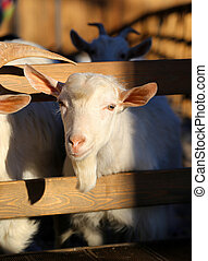 portrait of a goat - Photos illuminated by the sun on a goat...