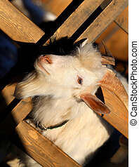 Photo portrait of a goat - Photos illuminated by the sun on...