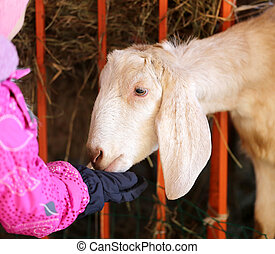 Photo portrait of a goat - Photo portrait of a beautiful...