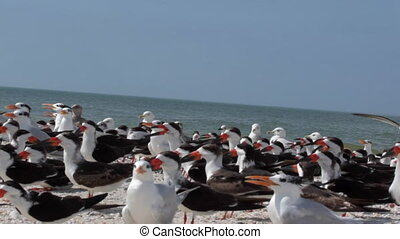 Terns and Seagulls on the beach Florida USA