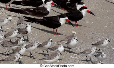 Terns and Plovers Birds of Florida