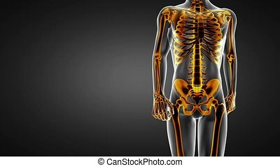 loop human bones radiographic scan. medical footage