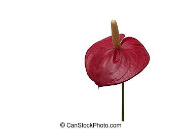 fenicottero, fiore,  Anthurium, rosso