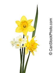 Three Daffodil flowers