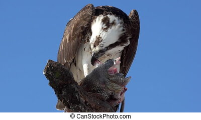 Osprey with Fish Pandion haliaetus also called fish eagle or...