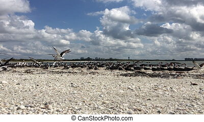 Flock of Black Skimmers taking off of the beach Florida