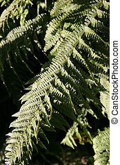 Fern leaves - fronds in Castle Eden Dene near Peterlee,...