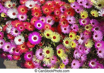 floral background mesembryanthemums - background image of...