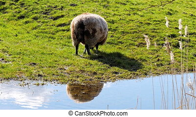 White brown sheep eating grass in pasture reflection on...
