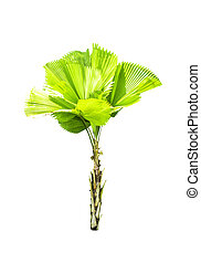 Livistona retundifolia palm tree isolated on white