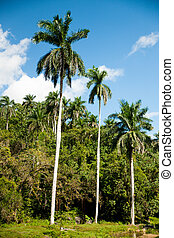 Panoramic view of royal palm trees on cuban countryside