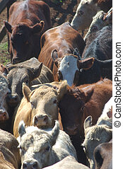 cattle in race - beef cattle herded into race for auctioning